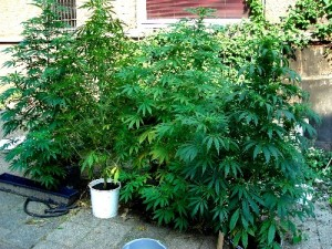 coltivazione marijuana outdoor